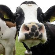 Με πόσες αγελάδες ισούται μια γυναίκα.