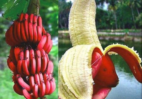 Η υπερτροφή κόκκινη μπανάνα